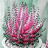 Ultrey Samenshop - 100 Stück Selten Aloe Vera (Aloe barbadensis) Samen Zierpflanze Sukkulenten Saatgut Erste-Hilfe-Pflanze...