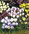 BALDUR-Garten Wildkrokusse, Botanische Krokusse Kollektion, 100 Zwiebeln, Crocus chrysanthus Mix von Baldur-Garten - Du und dein Garten