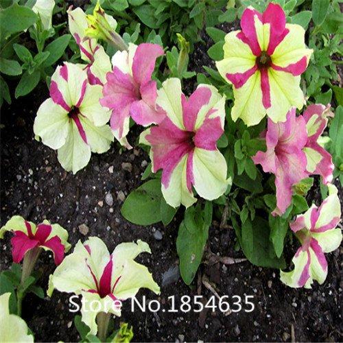 Jardin des plantes 200 graines/sac graines rares de fleurs graines de pétunia planteurs de pot de fleur bonsaï Diaolan Bonsai Se Noir