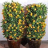 M-Tech Gardens Rare Mandarin Sweet Dwarf Orange Live Plant (1 Live Plant in Polybag)