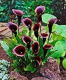 Yukio Samenhaus - 100pcs Rarität Zantedeschia Calla Picasso zweifarbig, exotisch Blumensamen Mischung winterhart mehrjährig für Garten