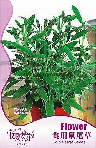 12pcs vente chaude comestibles de semences Sage, semences de fleurs, Salvia semences, Bonsai Plante en pot jardin Livraison gratuite