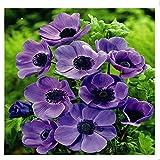 Lot de 5 Bulbes fleurs - anemone coronaria mr fokker -coloris violet Taille : 0 à+/- 40 CM anémone violet