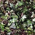 lichtnelke - Efeu (Hedera helix) von Lichtnelke Pflanzenversand - Du und dein Garten