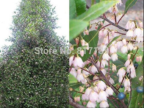 inicio-jardn-de-plantas-3-semillas-genuino-elaeocarpus-reticulatus-semillas-blueberry-rbol-de-ceniza