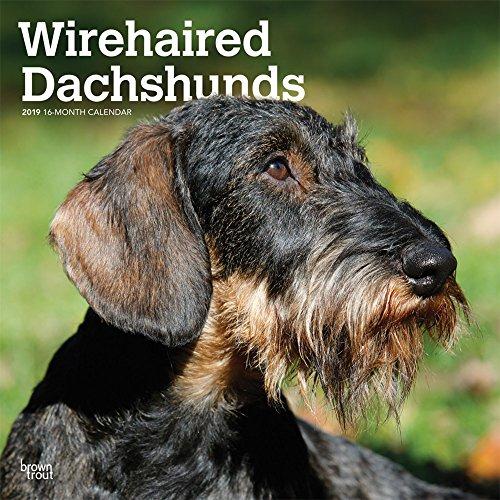 Wirehaired Dachshunds - Rauhhaardackel 2019 - 18-Monatskalender mit freier DogDays-App: Original BrownTrout-Kalender [Mehrsprachig] [Kalender]