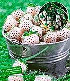 BALDUR-Garten Weiße Ananas-Erdbeere 'Natural White', 3 Pflanzen & 1 Pflanze rote Erdbeere Senga Sengana, Fragaria winterhart