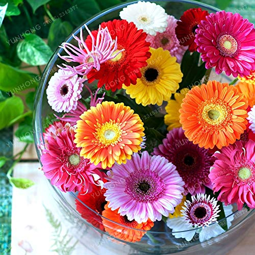 agrobits 100 pc gerbera bonsai bonsai da interno bonsai del fiore del family garden facile da coltivare colori misti