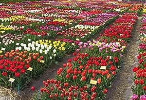 Floriana Collection 100 bulbi da fiore di TULIPANI A COLORI ASSORTITI a fioritura primaverile del valore di €50.