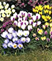 Wildkrokusse, Botanische Krokusse Prachtmischung, 100 Zwiebeln, Crocus chrysanthus Mix von BULBPLANT auf Du und dein Garten