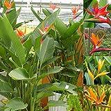 Keland Garten - Südafrika echte Paradiesvogelblume Samen, Strelitzie Strelitzia reginae Lange Blütezeit, Ideal als Zimmerpflanze (50)