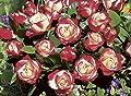 Rosen-Hochstamm 'Nostalgie' -R- im Container von Rosen-Union - Du und dein Garten