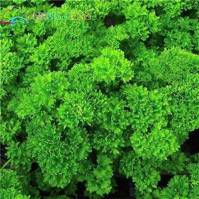 150 Pcs Coriandre Graines Saisons Persil Graines Coriandre Bio Graines Balcon Légumes petites graines japonais Bonsai Salad Rare