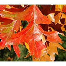S/äulenf/örmige Sumpf Eiche 125-150cm Quercus palustris