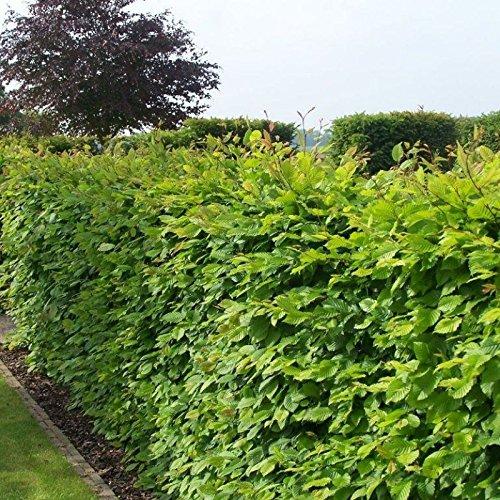 Carpino Carpinus betulus 10 SEMI