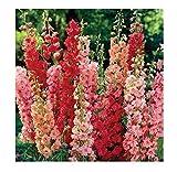 20x Riesen Delphinium cultorums Rot F1 Rittersporn Samen Pflanze #290