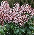 Schattenglöckchen Lavendelheide Bonfire 15-20cm - Pieris japonica von Baumschulen bei Du und dein Garten