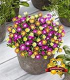 Kisshes Giardino - 1000 Pezzi Semi di Eisblum Blumenmischung Fiori di mezzogiorno Semi di Sommerblumen Blütenmeer per letti/prati da giardino