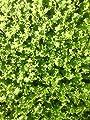 Französischer Endiviensalat im 12 er Set, Krauser Endiviensalat, Marktfrisch von Weseler Kräuterparadies - Du und dein Garten