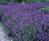Staude Lavendel, 5 Stauden