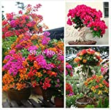 100 Mix Color Bougainvillea Balcony pot,...