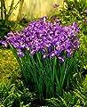 Holländische Iris blau, 7/8, 4x20 Zwiebel - zu dem Artikel bekommen Sie gratis ein Paar Handschuhe für die Gartenarbeit dazu von Dominik Gartenparadies - Du und dein Garten