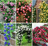 Best Climbing Roses - Shop 360 5 Different Types Climbing Rose Seeds Review