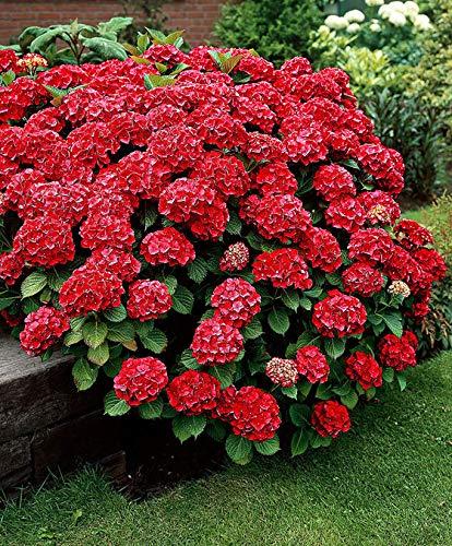 AIMADO sementi giardino - 20pcs raro Americana Ortensia 'Fireworks' rossi Cespuglio Semi sementi fiori giardino resistenza al freddo perenne e nelle bordure in giardino