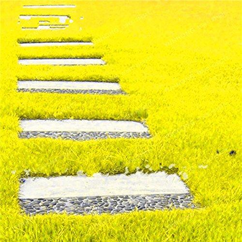Lamta1k 500 St¨¹cke Grassamen Rasen Mehrj?hrige Garten Fu?ballplatz Feld Villa Outdoor Pflanzenqualit?t und Hohe ¨¹berlebensrate – Gelbe Grassamen