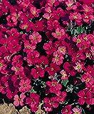 Premier Seeds Direct AUB02F 0.15g Blaukissen Gänsekresse Königsrote Samen (Packung mit 300)