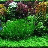 Sisaki Seeds,Graines de Plantes Aquatiques pour Aquarium Ornementales Graines de Plantes Graines d?herbe Plantes à Tapis Faciles à Cultiver