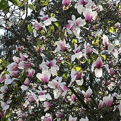 Tulpenmagnolie rosa blühend, 1 Pflanze von Amazon.de Pflanzenservice auf Du und dein Garten