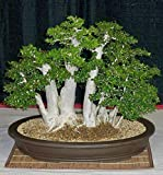 Portal Cool Las semillas del paquete: Semillas 10Pcs Baobab Adansonia digitata Bonsai de árboles exóticos semillas viables raras semillas