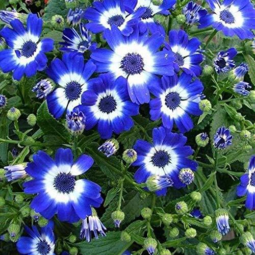Shoopy Star 12: 20 Pcs Bonsaï Rare Bleu d'ÃRable Plantes Costume Pot pour Jardin Japonais Beau