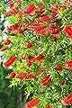 Callistemon Australischer Lampenputzer Zylinderputzer Zierpflanze Zitronenduft - verschiedene Größen von GardenPalms auf Du und dein Garten