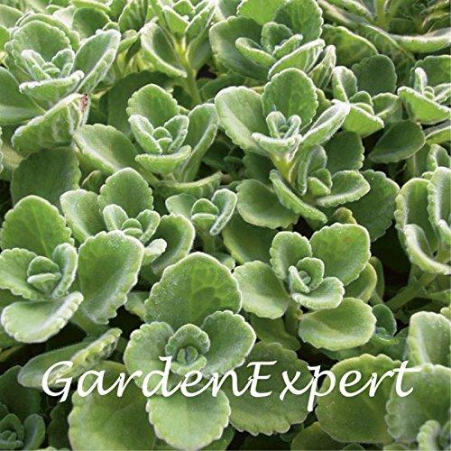 100Grün Kubanischer Oregano Samen Mexikanische Thymian indische Borretsch Samen Spanisch Thymian mehrjährig Kräuter Pflanze Garten Bonsai (Mexikanischer Oregano Pflanze)