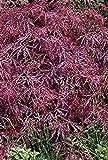 Dunkelroter Schlitzahorn - Acer palmatum - Dissectum Garnet - langsam wachsend, kugelartig - 30-40 cm