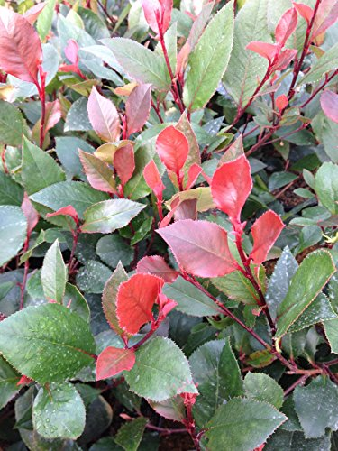 photinia-x-fraseri-little-red-robin-3-litre-mature-plant