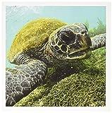 3drose Pacific Green Black Sea Turtle Fütterung von Algen Punta Kormorane Floreana Galapagos-– Grußkarten, 15,2x 15,2cm, Set 6(GC _ 10116_ 1)
