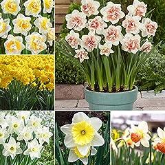 Idea Regalo - AGROBITS 20Pcs doppio Narciso Duo Bulbi profumato pastello Misto Narciso Spring Flower Nuovo