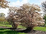 Kupfer-Felsenbirne - Weiße Blüte - Amelanchier lamarckii Containerware 100-150 cm - Garten von Ehren®