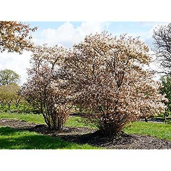 Garten Ehren kupfer felsenbirne weiße blüte amelanchier lamarckii