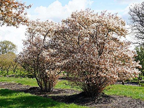 Kupfer-Felsenbirne – Weiße Blüte – Amelanchier lamarckii Containerware 100-150 cm – Garten von Ehren®