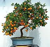 Shopmeeko 20 STÜCKE Klettern Orange pflanze Mini Vergossen Essbare obstpflanze Bonsai China Top Qualität Klettern Orangenbaum pflanze Kletterpflanzen