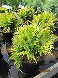 Thuja plicata Sun Beam - gelber Lebensbaum Sun Beam
