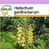 SAFLAX - Giglio dello zenzero - 10 semi - Hedychum gardnerianum