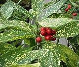 Aucuba japonica Variegata - Japanische Aukube Variegata - Japanische Goldorange - Metzgerpalme - Fleischerpalme -