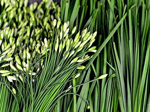 250 ++ Ail Ciboulette Graines Herb Allium tuberosum non OGM