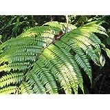 Cyathea moluccana - helecho árbol - 100 semillas