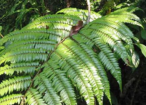 Cyathea moluccana - Farn - 100 Samen
